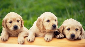 3 little puppies-635641_1080